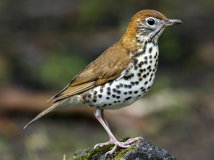Wood Thrush - original, slightly slowed