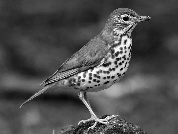 Wood Thrush - slowed down x2