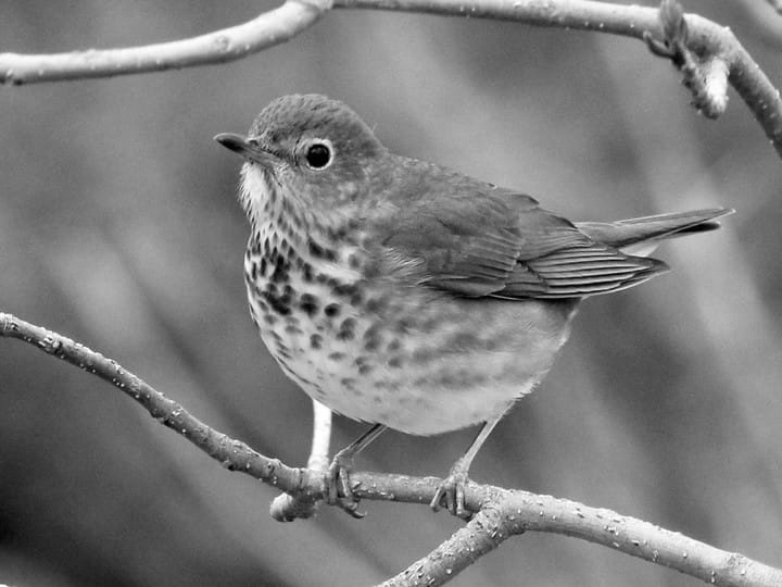 Swainson's Thrush - slowed down x2