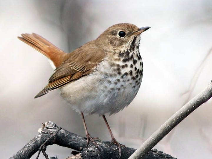 Hermit Thrush - original